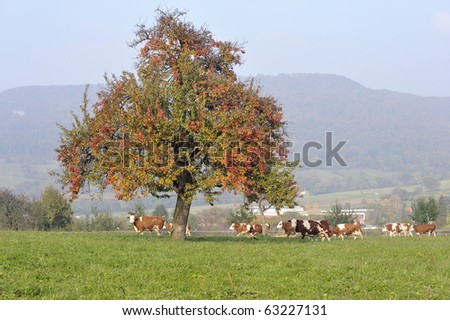 Cow herd under an autumnal tree - stock photo
