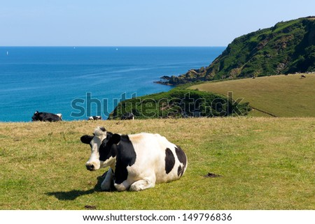 Cow in a field and view of the Cornish coast in Cornwall England UK  - stock photo