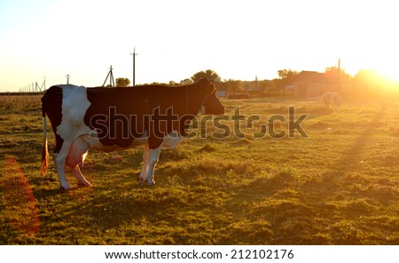 Cow in a field at sunset - stock photo