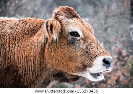 Cow in a forest, Basque Country (Spain) - stock photo
