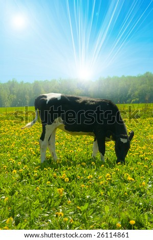 cow in a pasture - stock photo