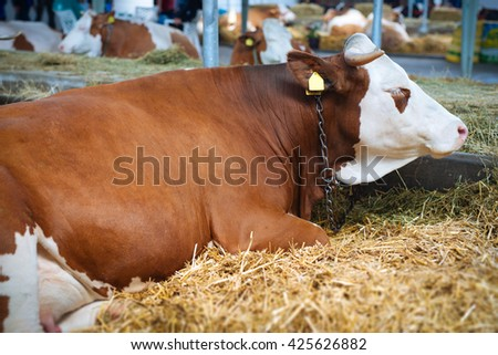 Cow in a stable