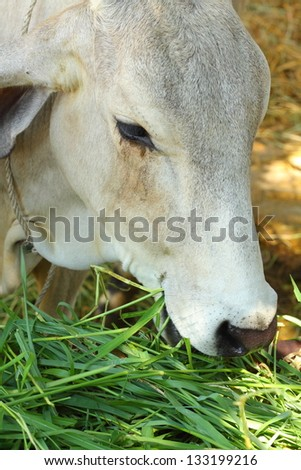 cow in a stable - ox eating grass - stock photo