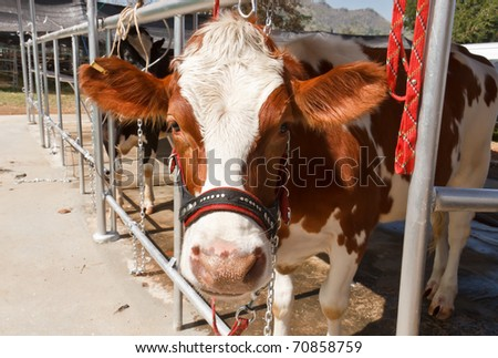 Cow in farm - stock photo