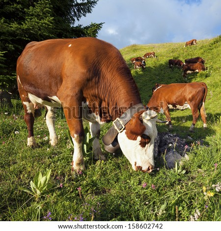 Cow in french alps landscape under sunlight - stock photo