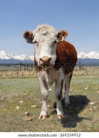 Cow in front of mountains - stock photo