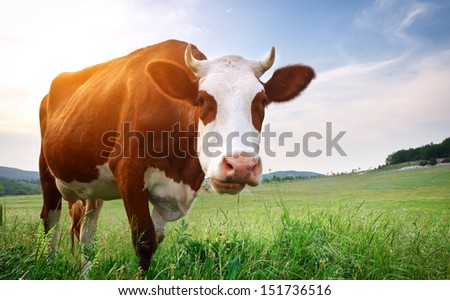 Cow in meadow. Nature composition - stock photo