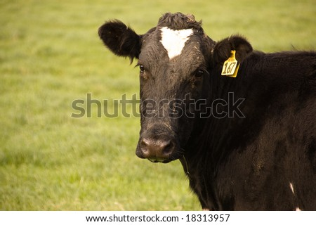 Cow in Paddock - stock photo