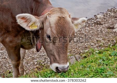 Cow in Switzerland - stock photo