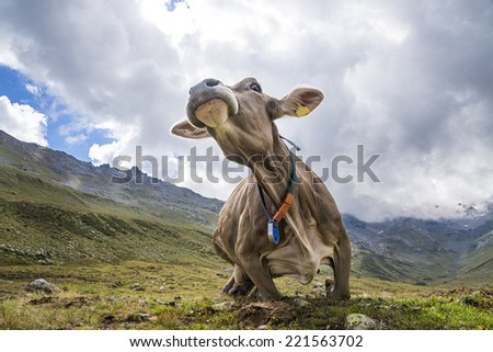Cow in the alps - stock photo