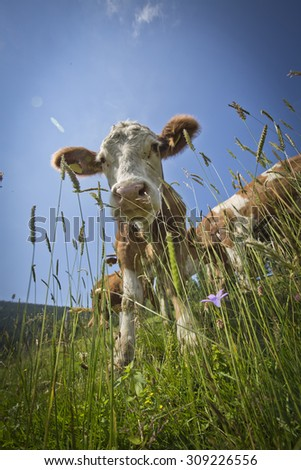 cow in the alps, austria, styria  - stock photo