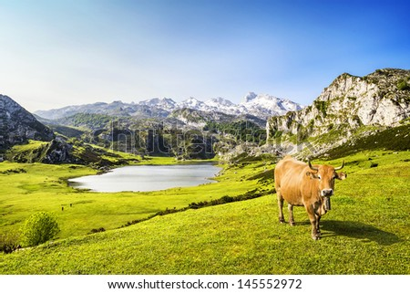 Cow in the Ercina lake (lakes of Covadonga), Asturias, Spain  - stock photo