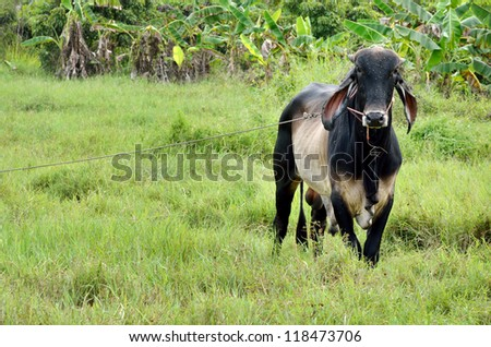 Cow in the field with the rope - stock photo