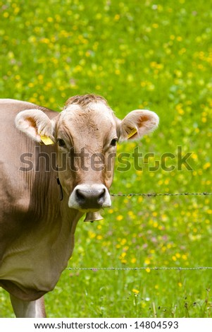 Cow in the meadow - Austria