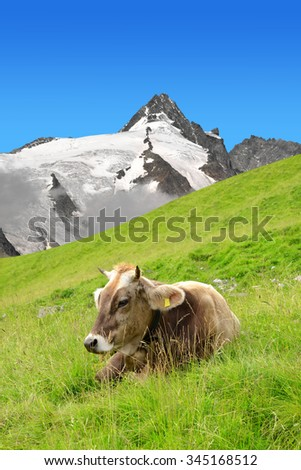 Cow in the meadow.In the background Grossglockner - National Park Hohe Tauern, Austria - stock photo