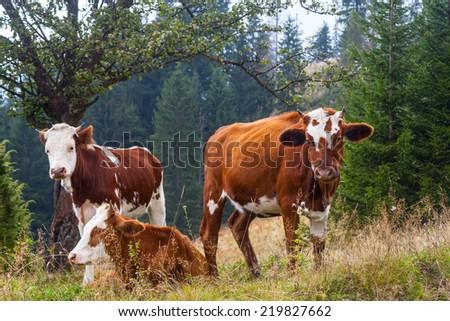 Cow in the mountains. mountains landscape. Carpathian, Ukraine - stock photo
