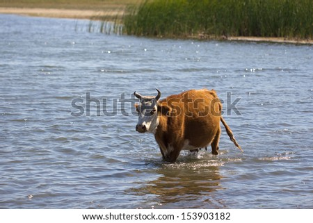 cow in the water on the lake