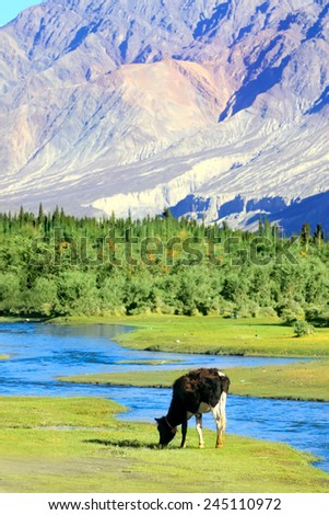 Cow is grazed on a green lawn near the river in the Himalayas. Nubra valley. India - stock photo