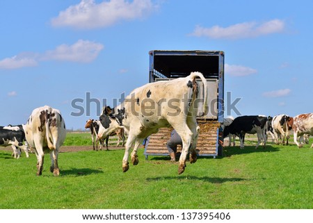 cow is jumping and running in field after transport - stock photo