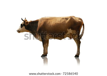 Cow isolated at the green field - stock photo