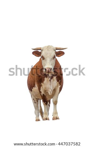 Cow isolated on white. the cow is brown and white with long horns. the cow is facing the camera. - stock photo