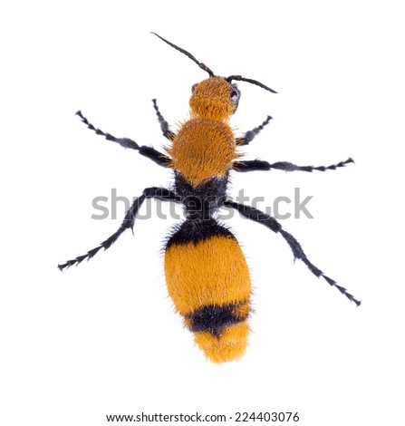Cow killer or Velvet ant, that is actually a wingless wasp ( Mutillidae )  but has a very painful sting.  Isolated on white background - stock photo