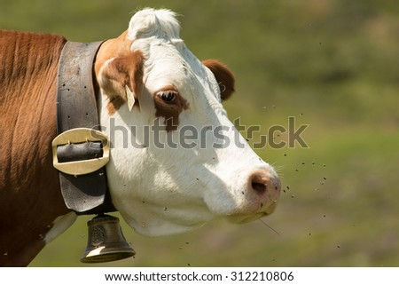 Cow - Koe - Cattle - stock photo