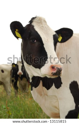 Cow Looking Cute - stock photo