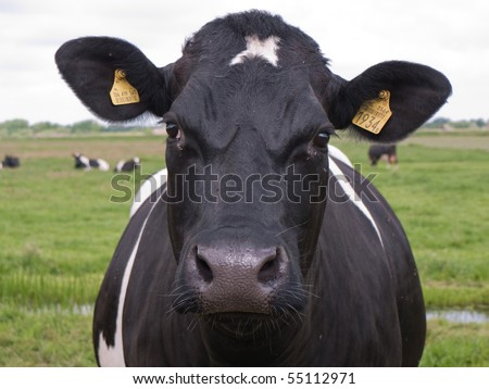 Cow looking into the camera - stock photo