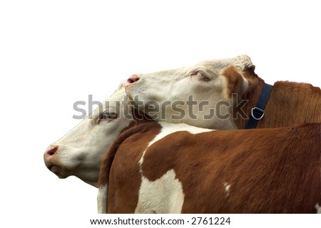 cow love - stock photo