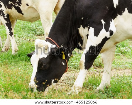 Cow milk are fed in open systems to get milk and a lot of quality.  - stock photo