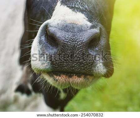 Cow nose close-up. - stock photo