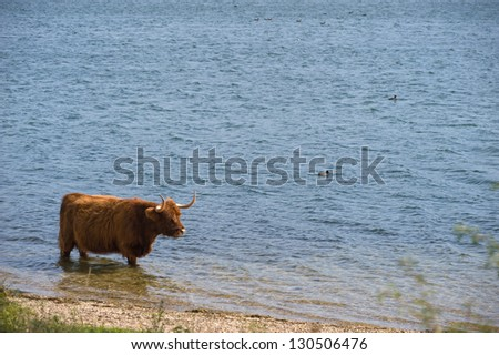Cow of a Highland cattle herd walking in water