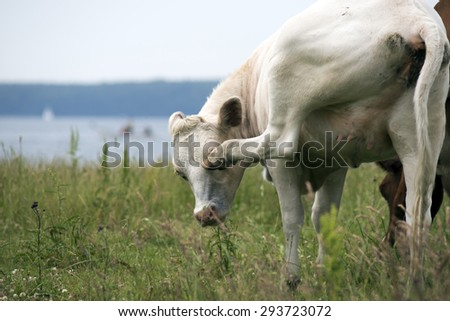 Cow on a Danish meadow removes flies. - stock photo