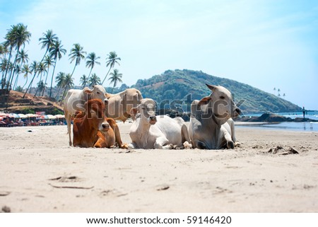 Cow on Beautiful Tropical beach ,Goa, India - stock photo