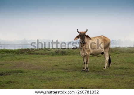 Cow on farmland misty background Asia farming and agriculture - stock photo