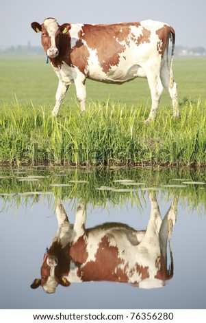 Cow on field with water reflection - stock photo