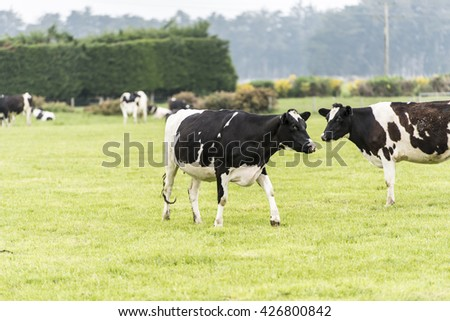 cow on grassland of New Zealand