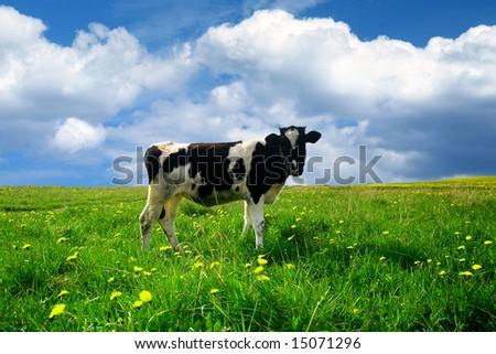 cow on green dandelion field - stock photo