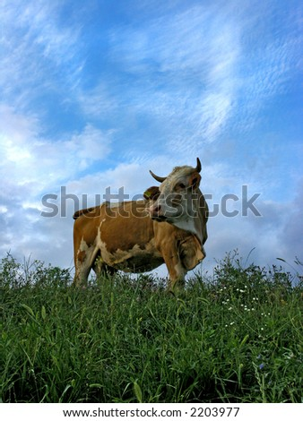 Cow on meadow with clouds