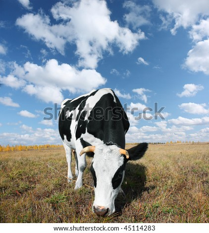 Cow on meadow with grass under blue sky with clouds - stock photo