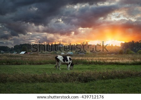 cow on pasture at sunset - stock photo