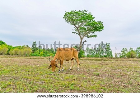 cow on rice field and beautiful trees background with sky - copy space