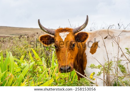 Cow on the Easter Island - stock photo