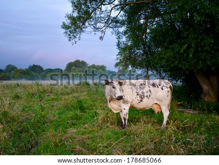 Cow on the field - stock photo