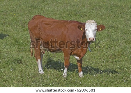 cow on the meadow - stock photo