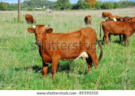 cow on the pasture - stock photo