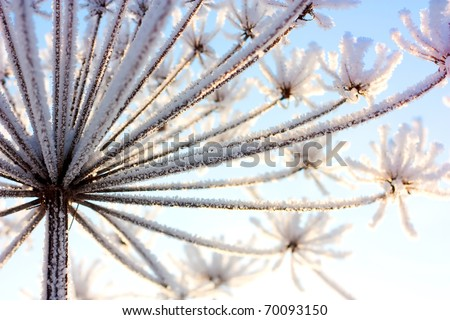 cow-parsnip picture snowy in the winter season - stock photo