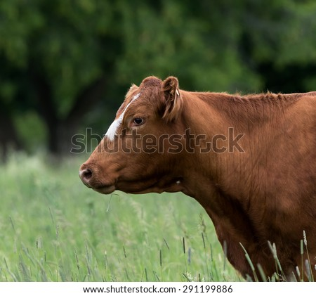 Cow Portrait - stock photo