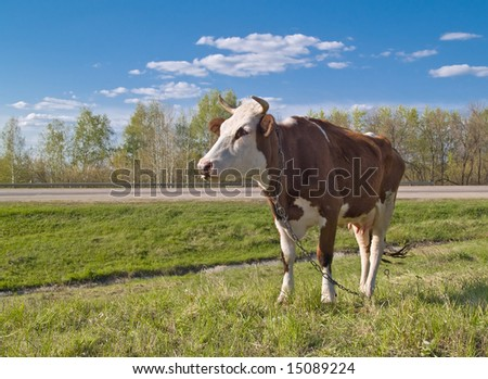 cow portrait over green grass and blue sky landscape